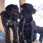 2 Labrador im Schnee
