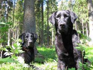 Rettungshunde Labrador