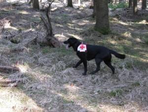 Rettungshunde Flächensuche im Wald