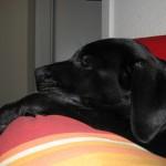 schlafender Hund auf dem Sofa