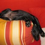 schlummernder Rettungshund