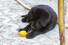 Hund, Welpe, Labrador